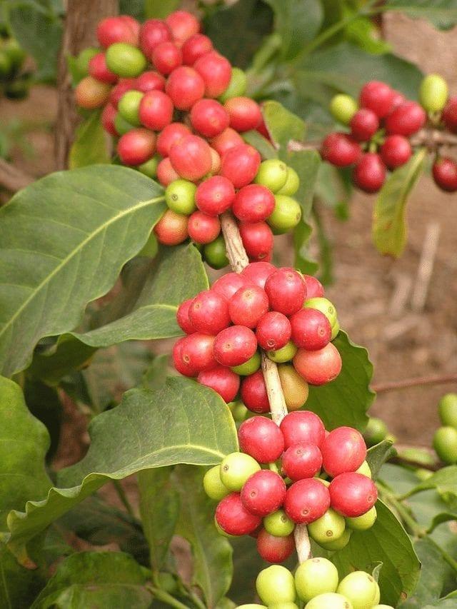 arbol de cafe arabica