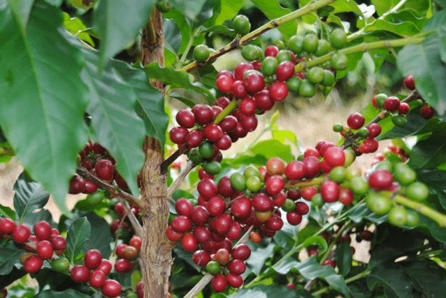 cerezas de cafe en minas gerais