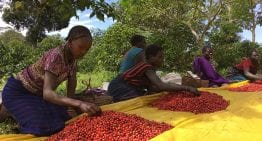 Many Fairtrade Coffee Farmers Don't Earn Enough to Live On