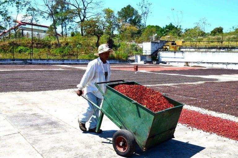 proceso de secado de cerezas de cafe