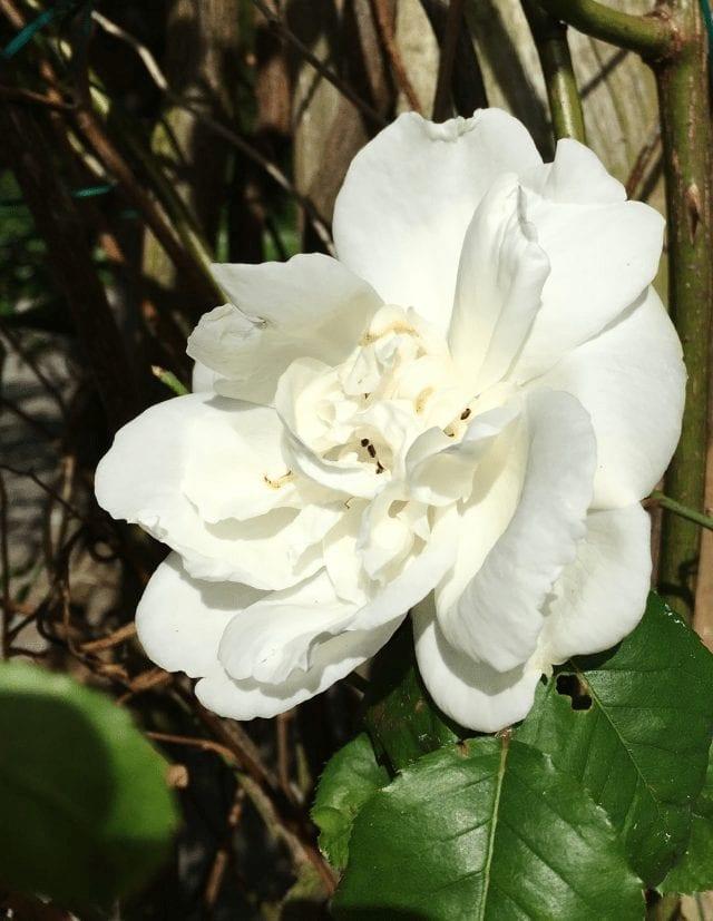 rosa albertina