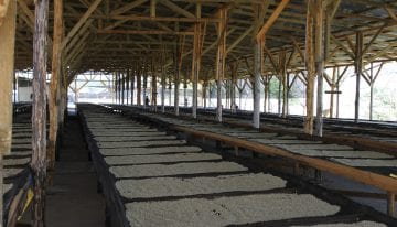 How to Improve Quality When Drying Washed Coffees