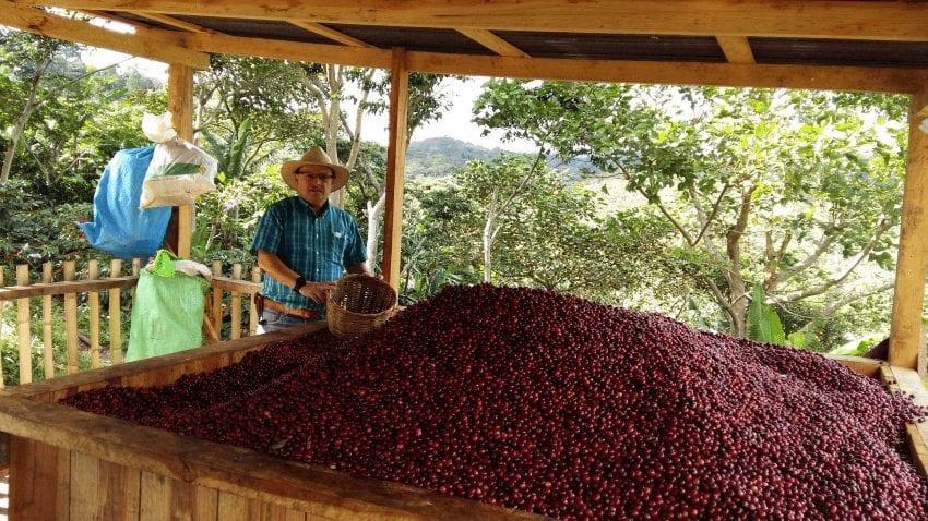 cerezas maduras de variedad centroamericano