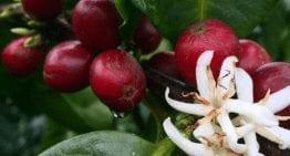 ¿Cómo Las Lluvias Durante Cosecha Destruyen los Cultivos de Café?