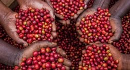 A Roaster's Guide to Ugandan Specialty Coffee