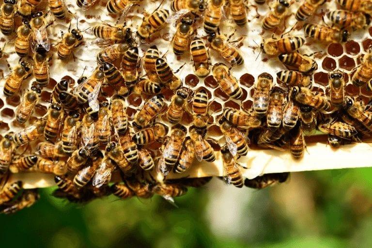 abejas de apicultura