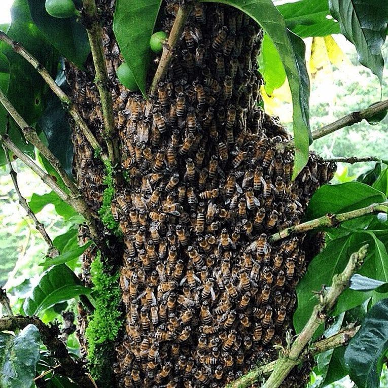 abejas para apicultura