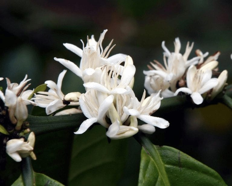 flor de cafe
