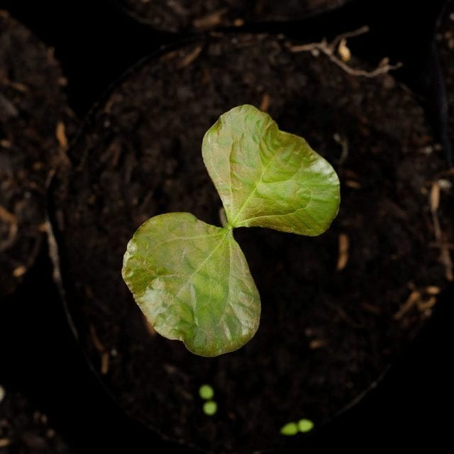 plantulas de cafe