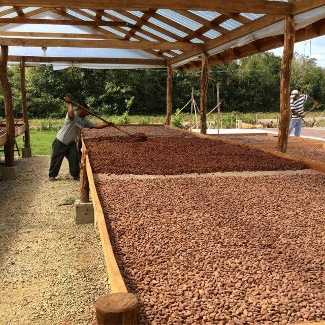 secado de cacao