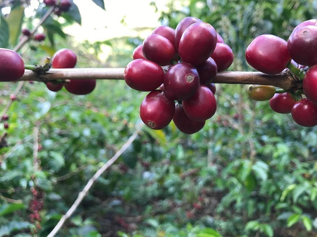 cerezas de cafe en colombia