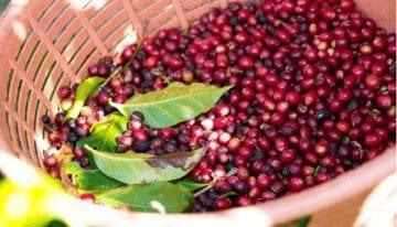 Reconsiderando la Selección de Semillas de Café