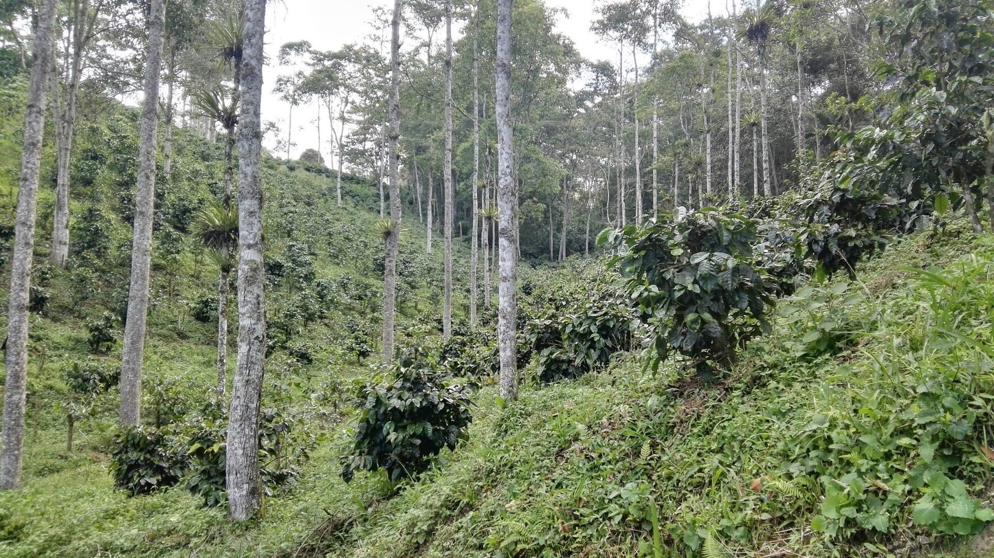 finca de cafe en colombia