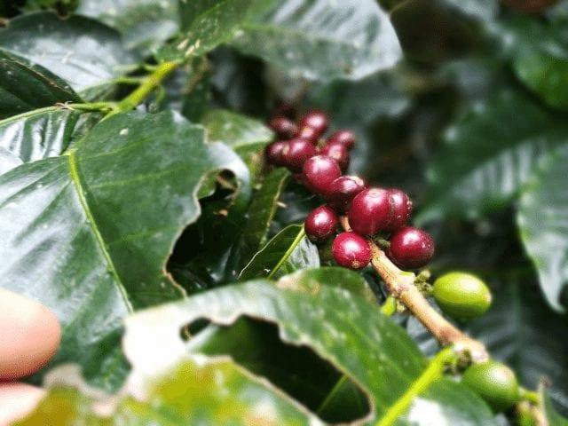 Cerezasde cafe en una rama