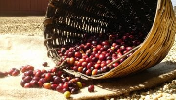 A Coffee Producer's Year: What Do Farmers Do?