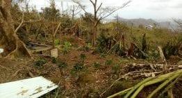 La Industria de café de Puerto Rico: Después de Huracán María