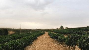 De Cultivos de Coca a Cultivos de Café: Cómo el Tratado de Paz con las FARC afecta a los Agricultores