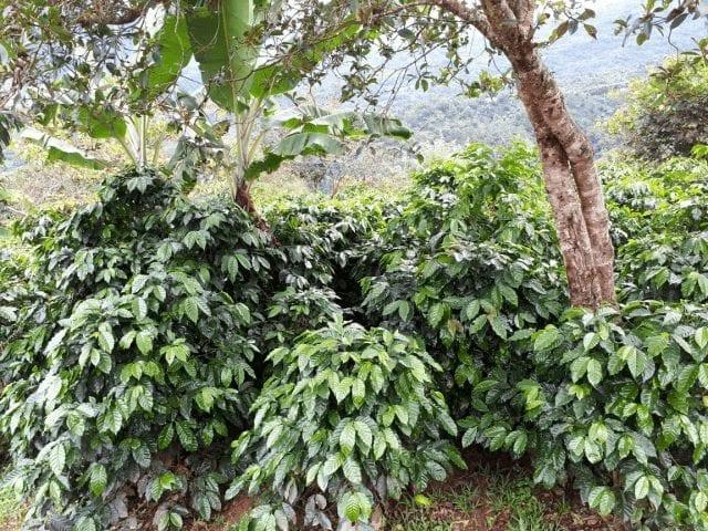 Árboles de café bajo sombra