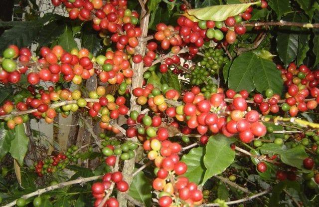 Cerezas de café madurandose