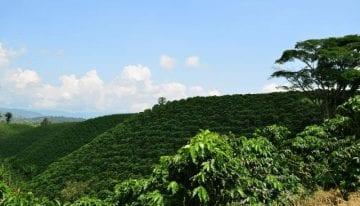 Guía Para Cultivar Árboles de Café Saludables