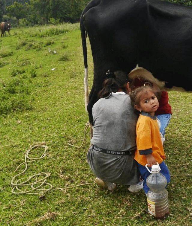 Familia ordeña una vaca en finca