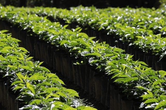 Plantas de café en vivero