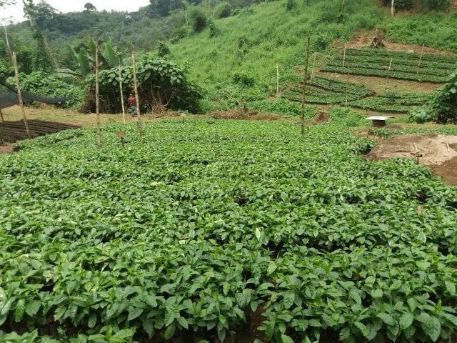 Plántulas de café listas para sembrar en finca