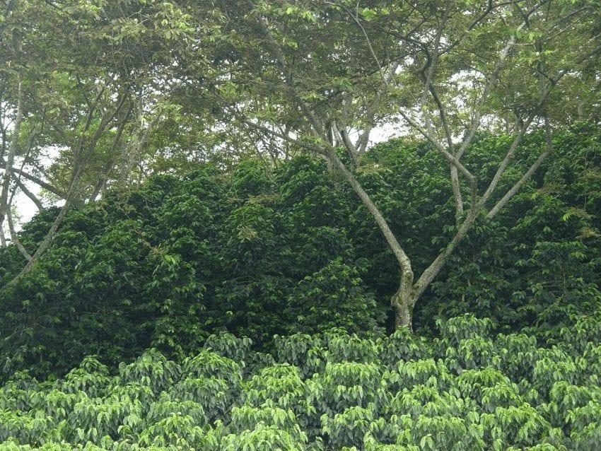 Árboles de sombra