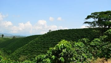 A Guide to Growing Healthy Coffee Trees
