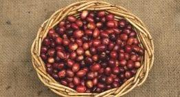 A Roaster's & Coffee Buyer's Guide to Rwandan Beans