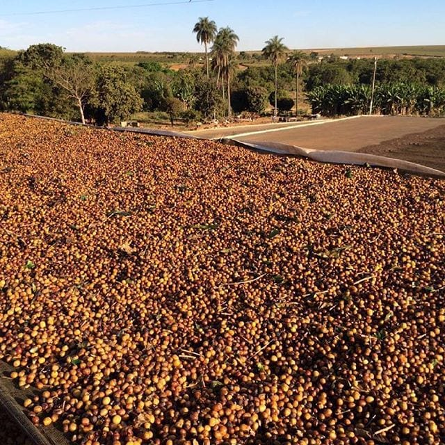 Catuai coffee cherries