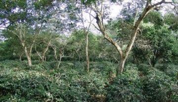 Café de la Isla Galápagos: Por Qué la Altitud No lo es Todo