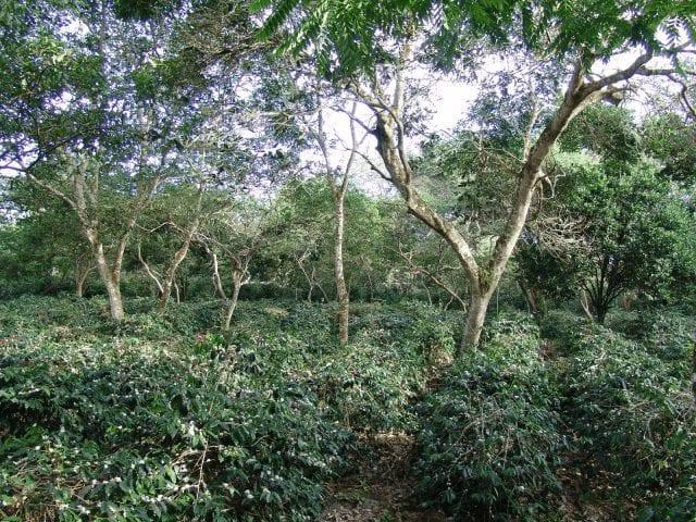 Árboles de café