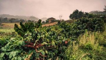 De Comercial a Especialidad: China Como Origen de Café en Crecimiento