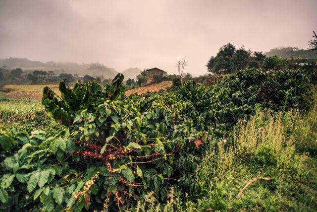Árbol de café en China
