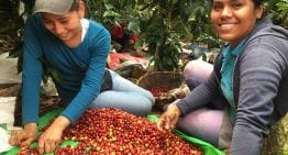 How to Improve Your Coffee Quality in Harvesting & Sorting