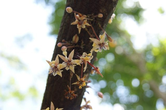 Cacao Flowers