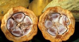 The Chocolate Fruit: Looking Inside a Cacao Pod