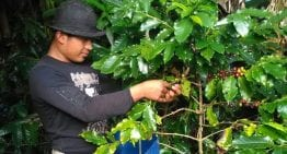 What a Coffee Producer Thinks When Harvest Begins