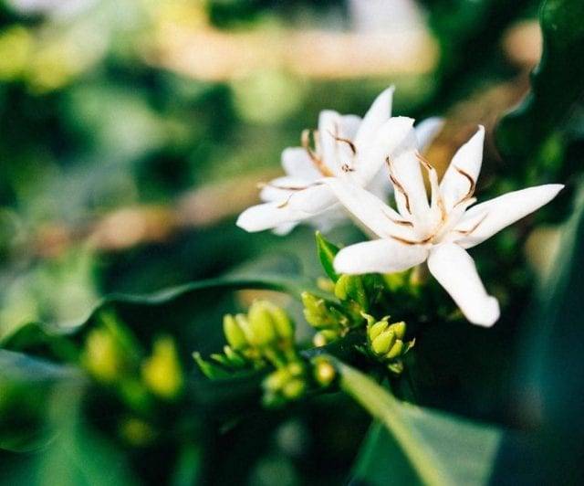 Coffee flower