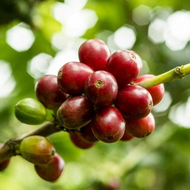 Red coffee cherry