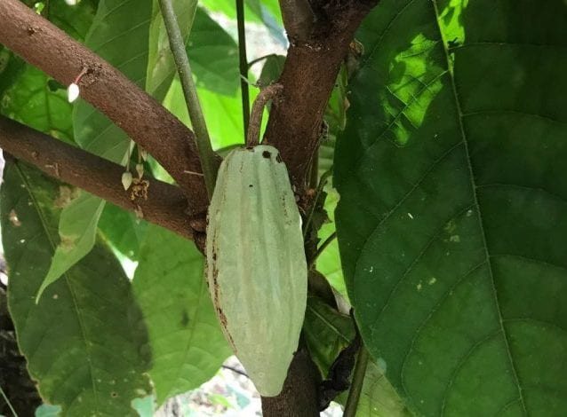 The Chocolate Fruit: Looking Inside a Cacao Pod | Perfect