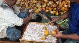 Explicación Paso a Paso: La Cosecha y El Procesamiento del Cacao