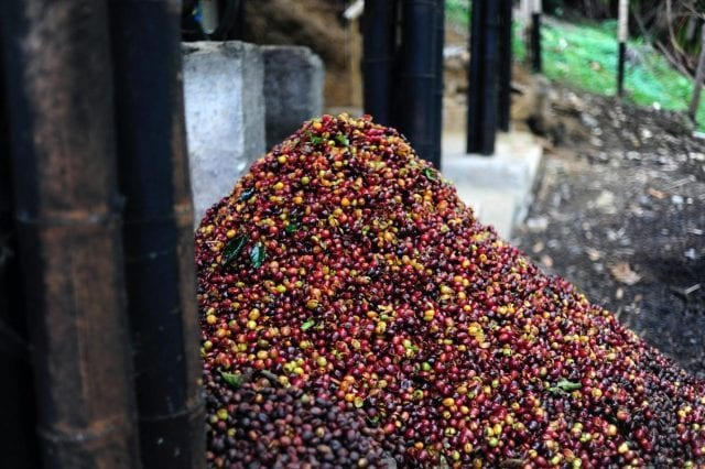 Coffee cherry pulp