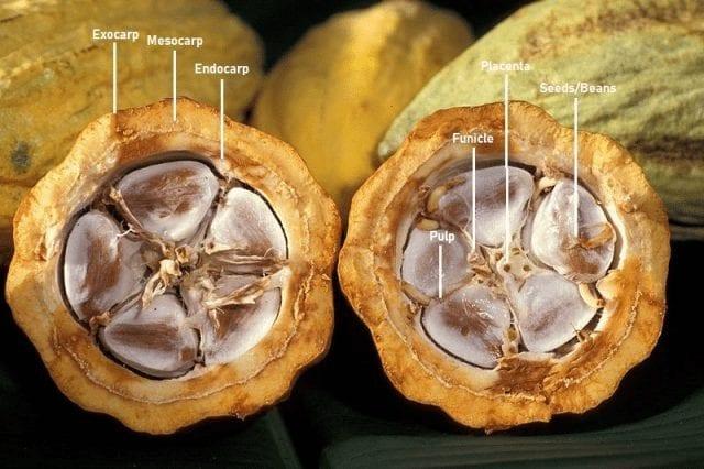 anatomia de cacao