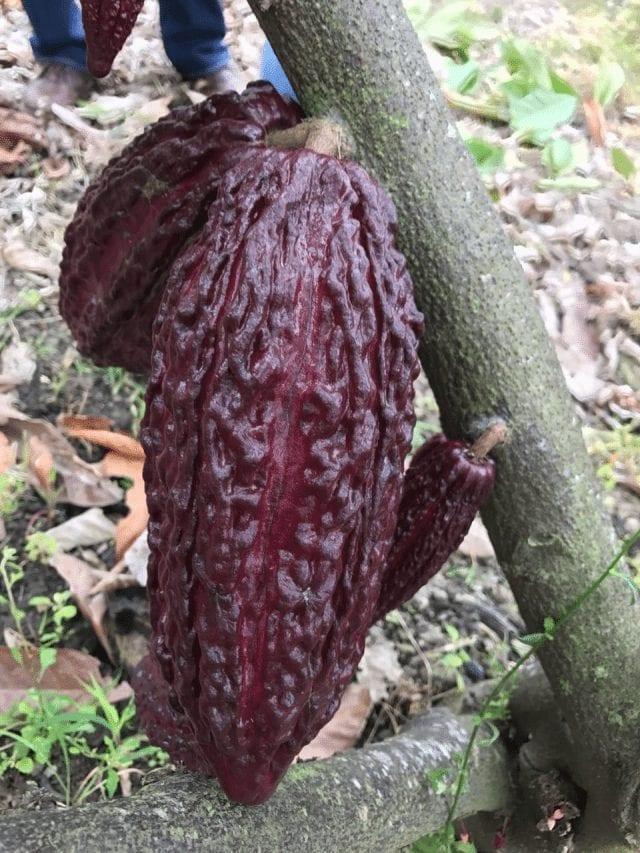cacao maduro