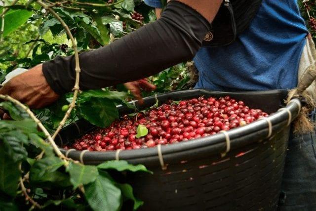 recoleccion de cerezas de cafe