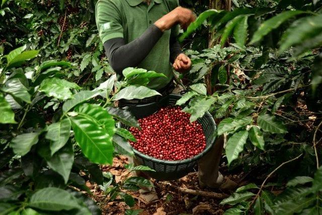 recolector de cafe