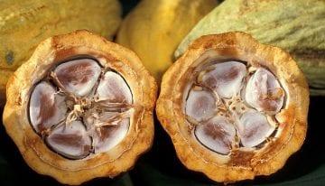 El Fruto del Chocolate: Viendo de Cerca una Vaina de Cacao