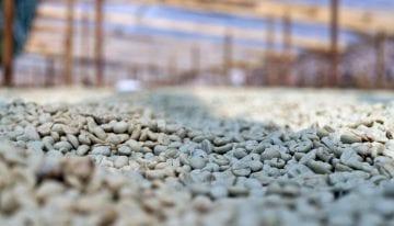 Cómo Proteger El Café Verde Del Exceso De Agua